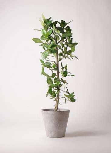 観葉植物 フィカス ベンガレンシス 10号 ストレート アートストーン ラウンド グレー 付き