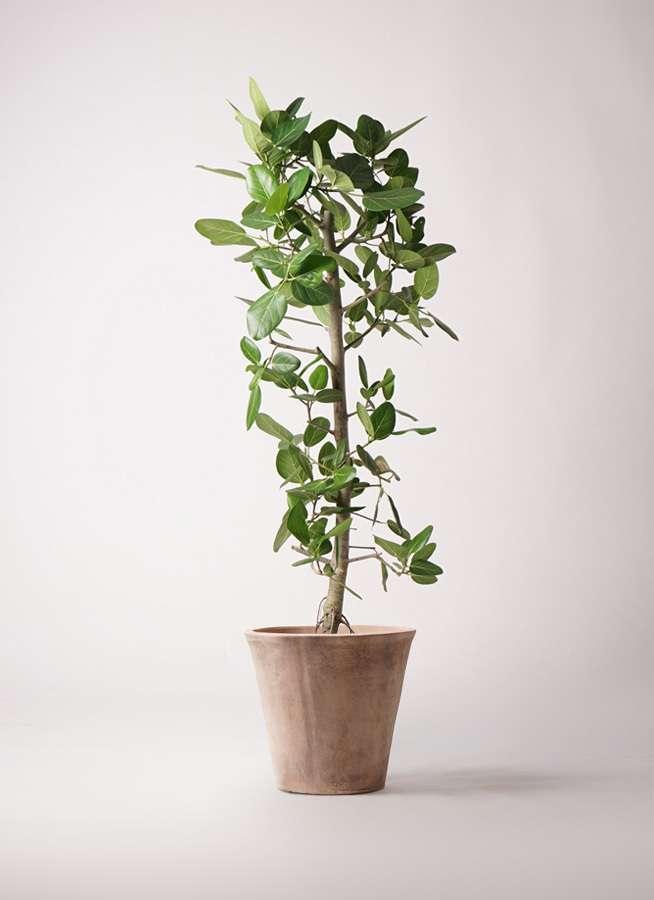 観葉植物 フィカス ベンガレンシス 10号 ストレート ルーガ アンティコ ソリッド 付き