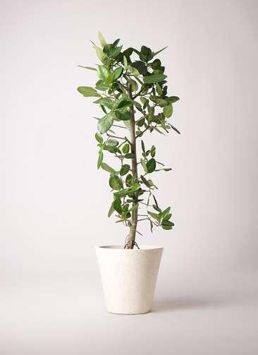 観葉植物 フィカス ベンガレンシス 10号 ストレート フォリオソリッド クリーム 付き