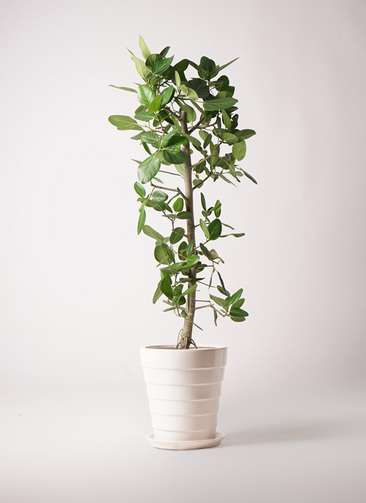 観葉植物 フィカス ベンガレンシス 10号 ストレート サバトリア 白 付き