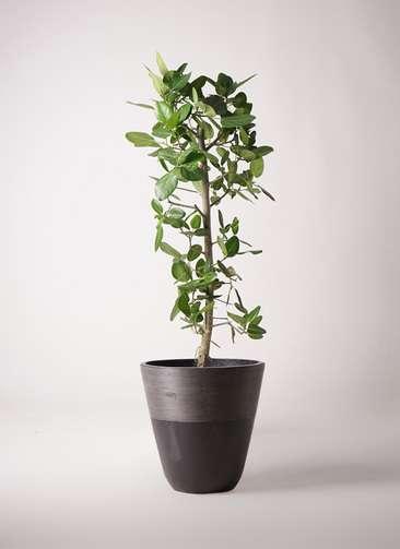 観葉植物 フィカス ベンガレンシス 10号 ストレート ジュピター 黒 付き