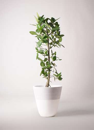 観葉植物 フィカス ベンガレンシス 10号 ストレート ジュピター 白 付き