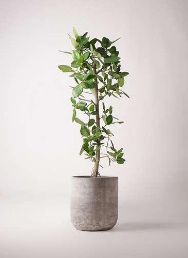 観葉植物 フィカス ベンガレンシス 10号 ストレート エルバ 白 付き