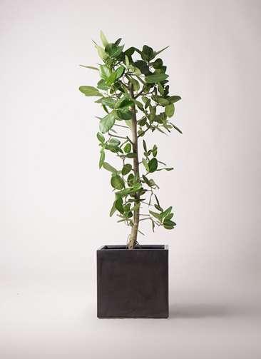 観葉植物 フィカス ベンガレンシス 10号 ストレート ファイバークレイ キューブ 付き