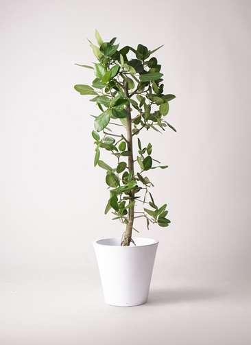 観葉植物 フィカス ベンガレンシス 10号 ストレート フォリオソリッド 白 付き