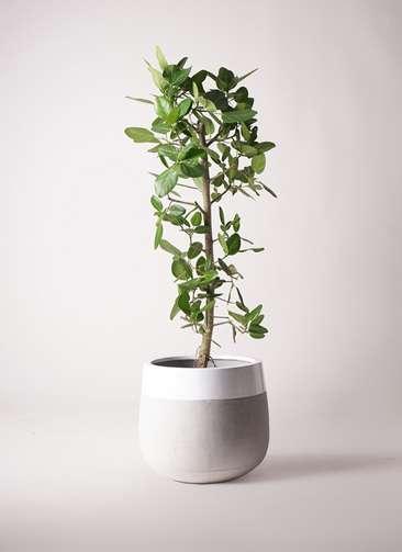 観葉植物 フィカス ベンガレンシス 10号 ストレート ファイバーストーンタウルス ミドル 白 付き