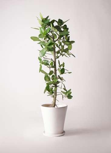 観葉植物 フィカス ベンガレンシス 10号 ストレート サブリナ 白 付き