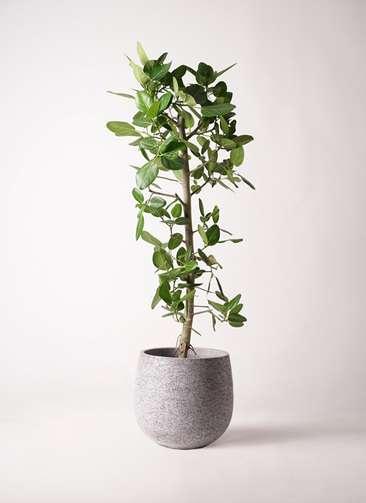 観葉植物 フィカス ベンガレンシス 10号 ストレート エコストーンGray 付き