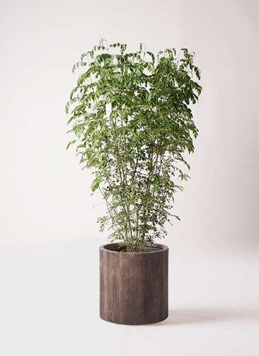 観葉植物 シマトネリコ 10号 アルファシリンダープランター 付き