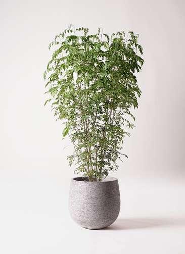 観葉植物 シマトネリコ 10号 エコストーンGray 付き