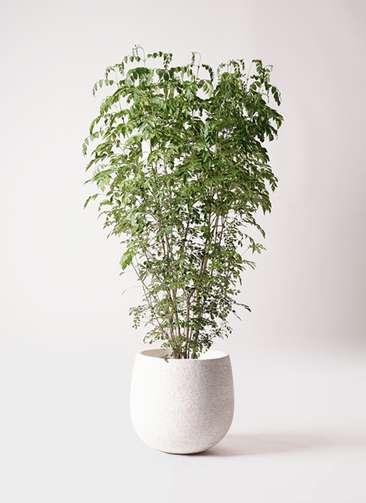 観葉植物 シマトネリコ 10号 エコストーンwhite 付き