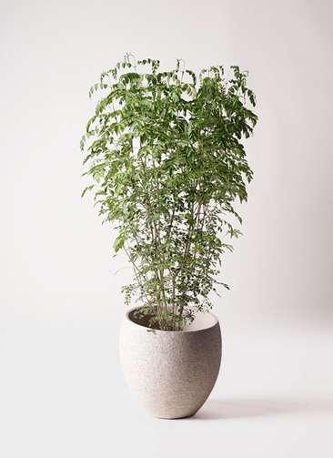 観葉植物 シマトネリコ 10号 エコストーンLight Gray 付き