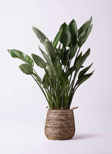 観葉植物 ストレリチア レギネ 10号 リゲル 茶 付き