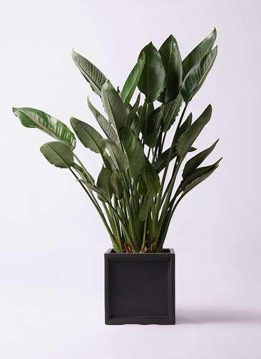 観葉植物 ストレリチア レギネ 10号 ブリティッシュキューブ 付き