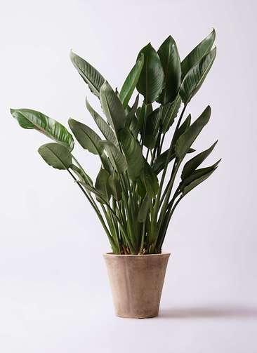 観葉植物 ストレリチア レギネ 10号 ルーガ アンティコ ソリッド 付き