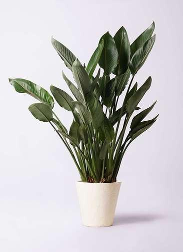 観葉植物 ストレリチア レギネ 10号 フォリオソリッド クリーム 付き