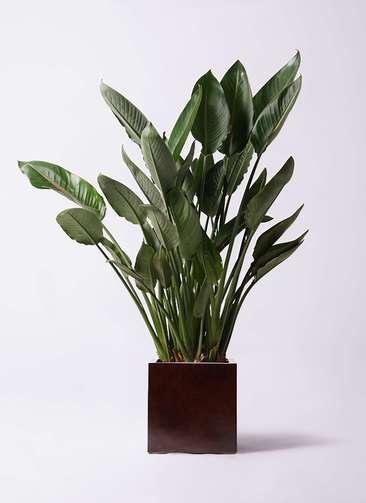 観葉植物 ストレリチア レギネ 10号 MOKU キューブ 付き