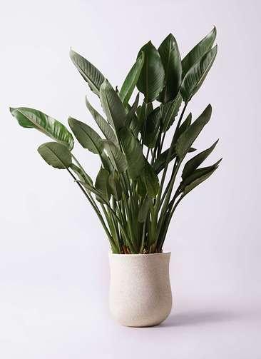観葉植物 ストレリチア レギネ 10号 アローナラウンド 白 付き