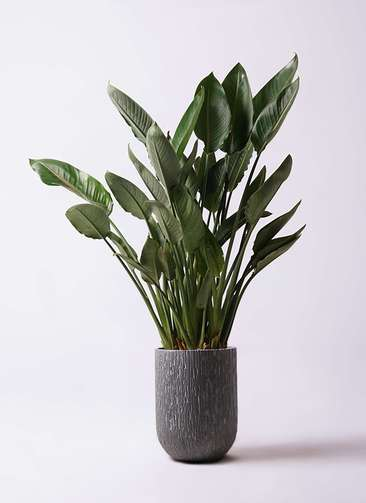 観葉植物 ストレリチア レギネ 10号 カルディナトールダークグレイ 付き