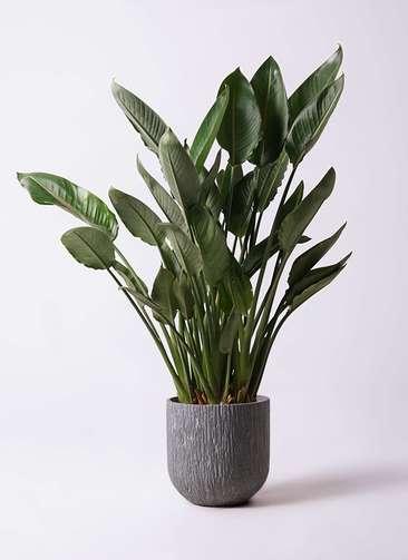 観葉植物 ストレリチア レギネ 10号 カルディナダークグレイ 付き