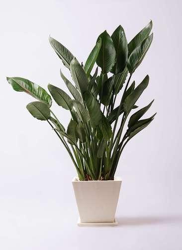 観葉植物 ストレリチア レギネ 10号 パウダーストーン 白 付き