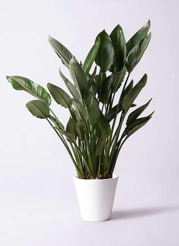 観葉植物 ストレリチア レギネ 10号 フォリオソリッド 白 付き
