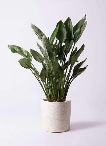 観葉植物 ストレリチア レギネ 10号 サンディ シリンダー 白 付き