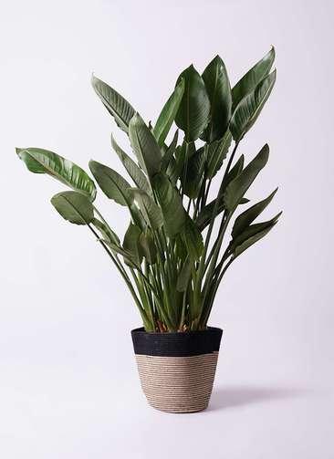 観葉植物 ストレリチア レギネ 10号 リブバスケットNatural and Black 付き