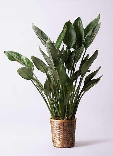 観葉植物 ストレリチア レギネ 10号 竹バスケット 付き