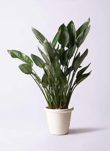 観葉植物 ストレリチア レギネ 10号 ビアスリムス 白 付き