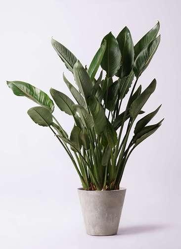 観葉植物 ストレリチア レギネ 10号 アートストーン ラウンド グレー 付き