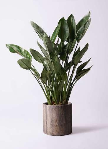 観葉植物 ストレリチア レギネ 10号 アルファシリンダープランター 付き