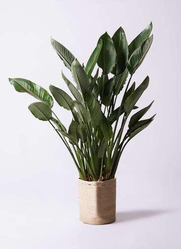 観葉植物 ストレリチア レギネ 10号 リブバスケットNatural 付き