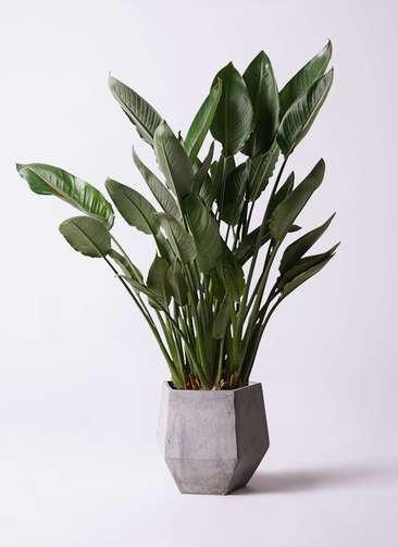 観葉植物 ストレリチア レギネ 10号 ファイバークレイGray 付き