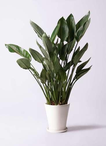 観葉植物 ストレリチア レギネ 10号 サブリナ 白 付き