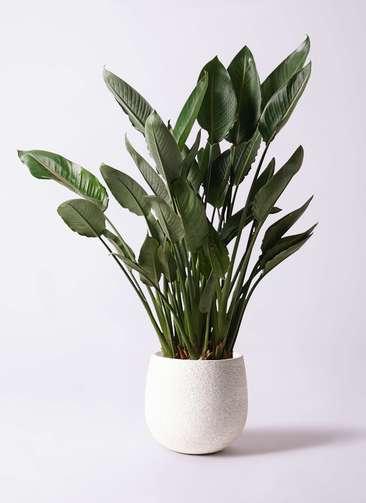 観葉植物 ストレリチア レギネ 10号 エコストーンwhite 付き