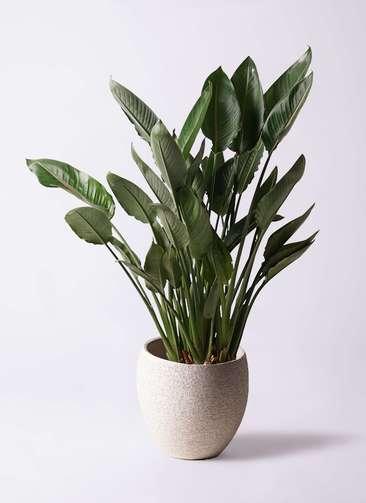 観葉植物 ストレリチア レギネ 10号 エコストーンLight Gray 付き
