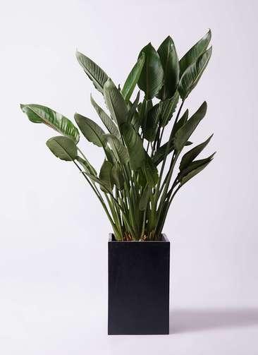 観葉植物 ストレリチア レギネ 10号 セドナロング 墨 付き