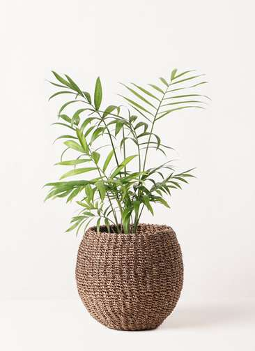 観葉植物 テーブルヤシ 4号 アバカバスケット スモーク 付き