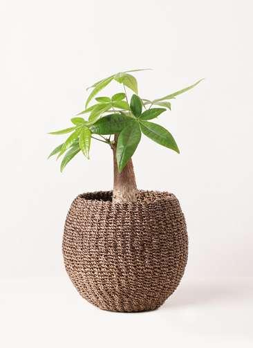 観葉植物 パキラ 4号 朴 アバカバスケット スモーク 付き