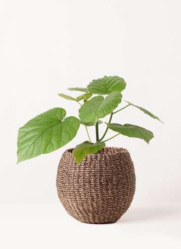 観葉植物 フィカス ウンベラータ 4号 ノーマル アバカバスケット スモーク 付き