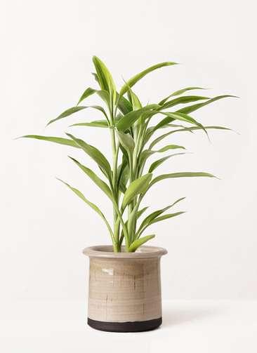 観葉植物 ドラセナ サンデリアーナ ゴールド 4号 アンティークテラコッタ グレイ 付き