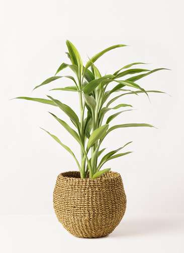 観葉植物 ドラセナ サンデリアーナ ゴールド 4号 アバカバスケット オリーブ 付き