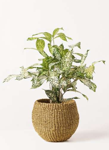 観葉植物 ドラセナ ゴッドセフィアーナ 4号 アバカバスケット オリーブ 付き