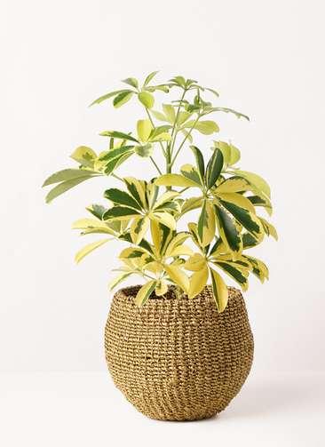 観葉植物 カポック(シェフレラ) 4号 斑入り アバカバスケット オリーブ 付き