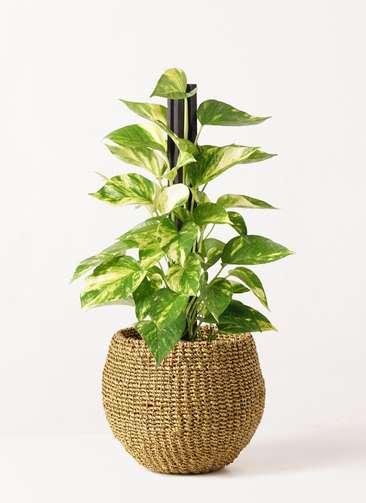 観葉植物 ポトス 4号 アバカバスケット オリーブ 付き