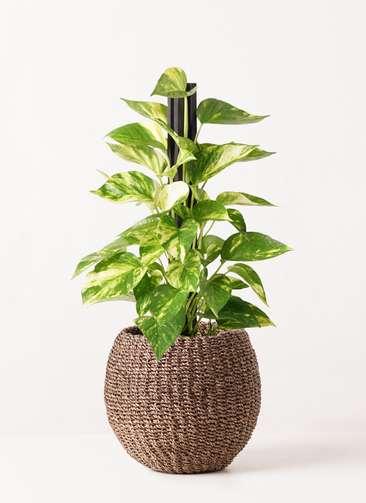 観葉植物 ポトス 4号 アバカバスケット スモーク 付き