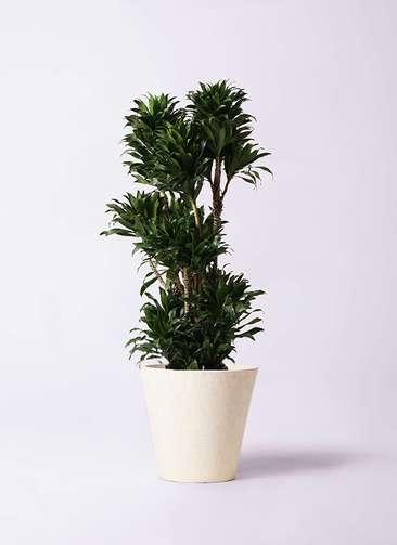 観葉植物 ドラセナ コンパクター 10号 フォリオソリッド クリーム 付き