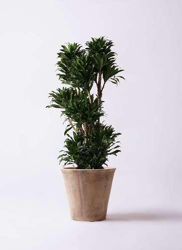 観葉植物 ドラセナ コンパクター 10号 ルーガ アンティコ ソリッド 付き
