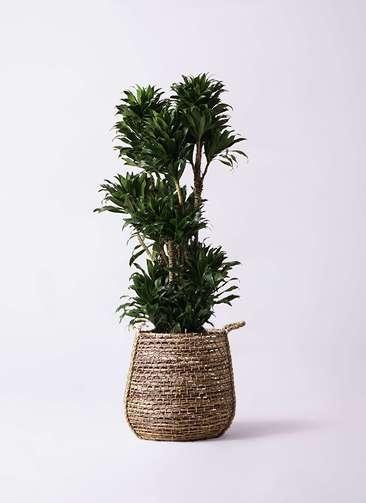 観葉植物 ドラセナ コンパクター 10号 リゲル 茶 付き